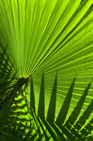 Backlit fan palm leaf showing a silhouette of another leaf Stock Photo
