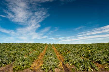 agribusiness: Field of artichoke plants (Cynara cardunculus) beneath a dramatic sky