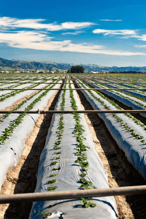 Irrigation pipes placed across rows of strawberry plants