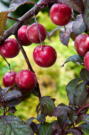 A bunch of fruit on the branches of a purple leaf plum tree Stock Photo - 12337828