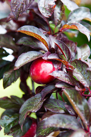 A sweet plum on a branch of the tree Stock Photo
