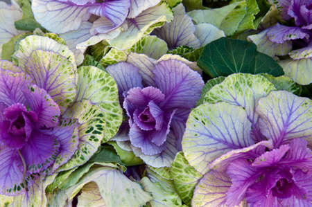 A group of spotted purple cabbage Stock Photo - 12337834