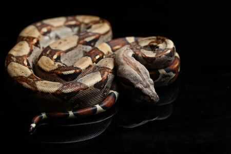 Common boa, Boa constrictor, isolated on black background