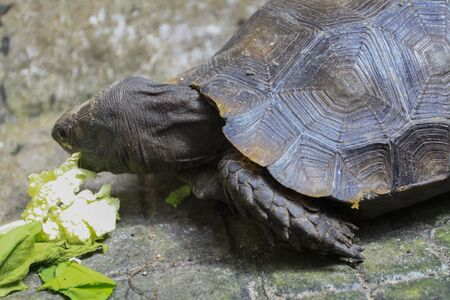 The Asian forest tortoise (Manouria emys), also known as the Asian brown tortoise