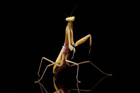 Giant Asian Yellow Praying Mantis (Hierodula membranacea) isolated on black background. Archivio Fotografico - 138580610
