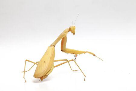 Giant Asian Yellow Praying Mantis (Hierodula membranacea) isolated on white background.