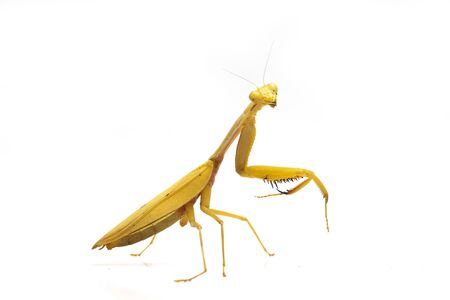 Giant Asian Yellow Praying Mantis (Hierodula membranacea) isolated on white background.