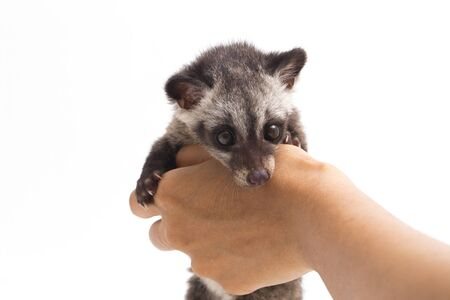The Baby Asian palm civet or luwak (Paradoxurus hermaphroditus) is a viverrid native to South and Southeast Asia. isolated on white background