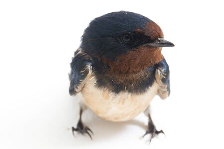 Bird barn swallow (Hirundo rustica) or swift isolated on a white background