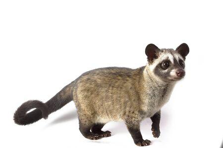 The Asian palm civet or luwak (Paradoxurus hermaphroditus). isolated on white background