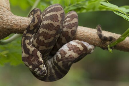 Carpet python (Morelia spilota) curled on a branch