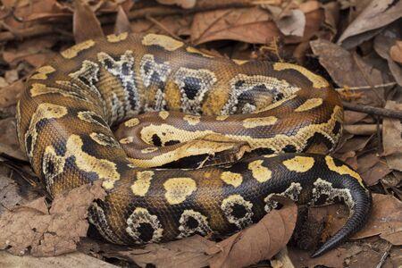 Sumatran blood python  Python brongersmai, commonly known as Brongersmas short-tailed python, or the red short-tailed python, a nonvenomous snake Reklamní fotografie