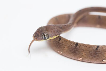 Boiga drapiezii, commonly known as the white-spotted cat snake, is a species of long and slender rear-fanged colubrid that is common throughout its range. isolated on white background