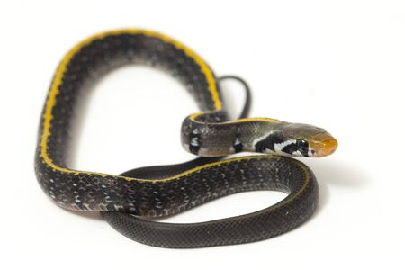 Coelognathus flavolineatus, the black copper rat snake or yellow striped snake, is a species of Colubrid snake found in Southeast Asia. isolated on white background