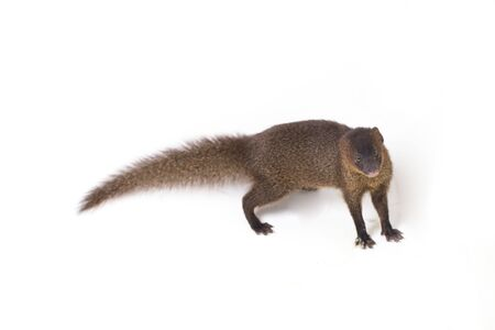 Close up of Javan Mongoose or Small asian mongoose (Herpestes javanicus) isolated on white background Foto de archivo