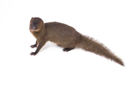 Close up of Javan Mongoose or Small asian mongoose (Herpestes javanicus) isolated on white background Stock Photo