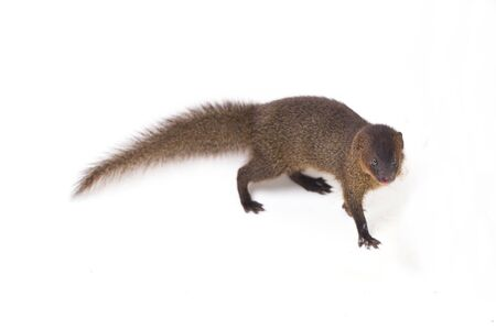 Close up of Javan Mongoose or Small asian mongoose (Herpestes javanicus) isolated on white background