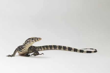 Varanus salvator, commonly known as Asian Water Monitor isolated on a white background Stock Photo