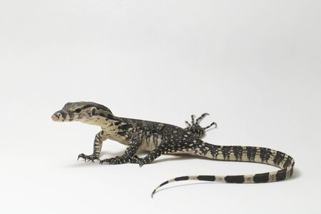 Varanus salvator, commonly known as Asian Water Monitor isolated on a white background 写真素材