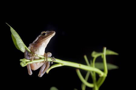 Common Southeast Asian Tree Frog - Polypedates leucomystax,on green pond reeds, isolated on black background, Indonesia