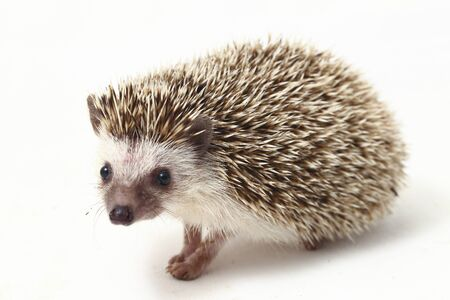 african pygmy hedgehog isolated on white background Banque d'images