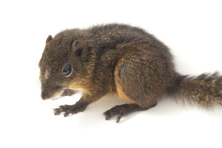 The three-striped ground squirrel (Lariscus insignis) is a species of rodent in the family Sciuridae. It is found in Indonesia, Malaysia, and Thailand. isolated on white background Stockfoto