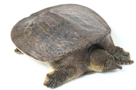 Common softshell turtle or asiatic softshell turtle (Amyda cartilaginea) isolated on white background Stock Photo