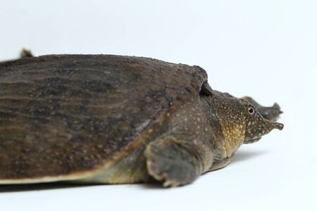 Common softshell turtle or asiatic softshell turtle (Amyda cartilaginea) isolated on white background