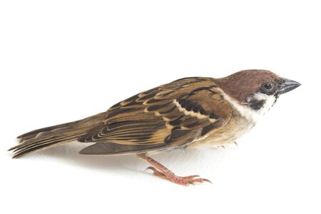 Bird Old World sparrows are a family of small passerine birds. isolated on white background Reklamní fotografie