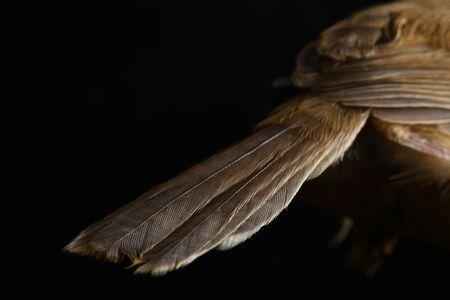 Plain Prinia bird (Prinia inomata) isolated on black background Фото со стока