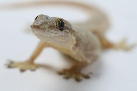Asian House lizard (hemidactylus) or common gecko isolated on white background