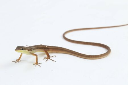 Asian grass lizard, six-striped long-tailed lizard, or long-tailed grass lizard (Takydromus sexlineatus) isolated on white background