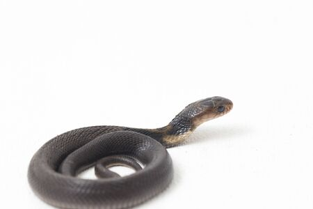 The Baby Javan spitting cobra (Naja sputatrix) also called the southern Indonesian cobra, or Indonesian cobra. isolated on white background