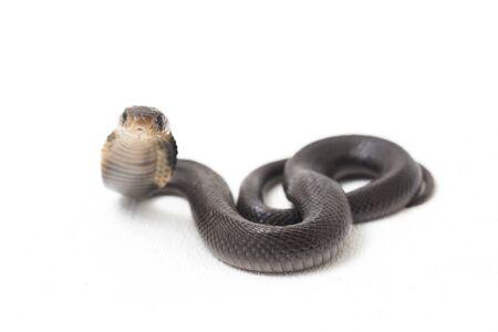 Le bébé cobra cracheur de Java (Naja sputatrix) est également appelé cobra du sud de l'Indonésie, ou cobra indonésien. isolé sur fond blanc