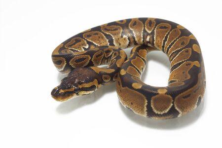 ball python (Python regius) isolated on white background