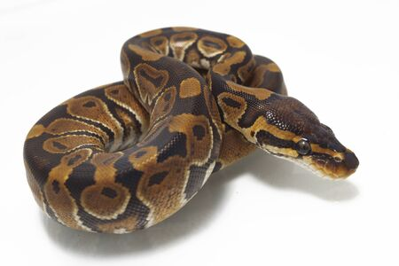 ball python (Python regius) isolated on white background