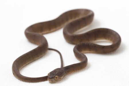 The keeled slug-eating snake, Pareas carinatus, is a species of snake in the family Pareidae . It is relatively widespread in Southeast Asia. Isolated on white background