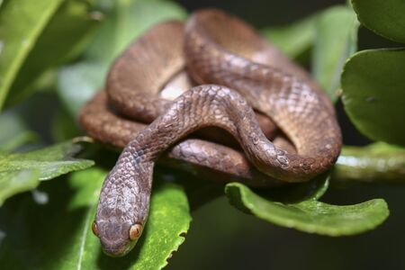 The keeled slug-eating snake, Pareas carinatus, is a species of snake in the family Pareidae . It is relatively widespread in Southeast Asia