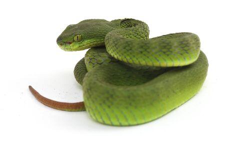 Close up White-lipped Green Pit Viper snake (trimeresurus albolabris) isolé sur fond blanc