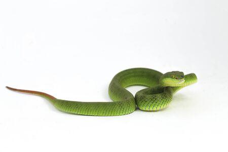 Close up White-lipped Green Pit Viper snake (trimeresurus albolabris) isolated on white background