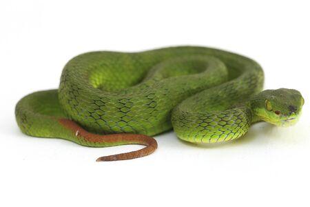 Close up White-lipped Green Pit Viper snake (trimeresurus albolabris) isolated on white background Stock Photo