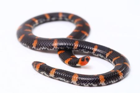 Red-tailed pipe snake (Scientific name Cylindrophis ruffus) isolate on white background 스톡 콘텐츠