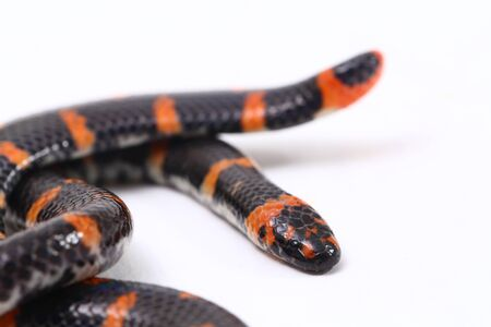 Red-tailed pipe snake (Scientific name Cylindrophis ruffus) isolate on white background Stock Photo