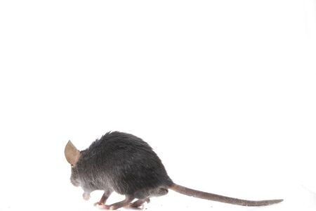 Wood mouse isolated on a white background