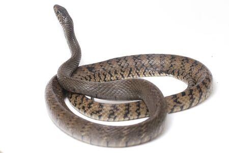 Ptyas mucosa, comúnmente conocida como serpiente rata oriental, serpiente rata india, una especie común de serpiente colúbrida que se encuentra en partes del sur y sudeste de Asia. Aislado sobre fondo blanco.