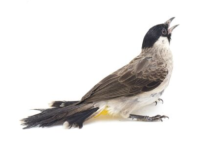 The sooty-headed bulbul (Pycnonotus aurigaster) is a species of songbird in the Bulbul family, Pycnonotidae. It is found in south-eastern Asia. isolated on white background Stockfoto