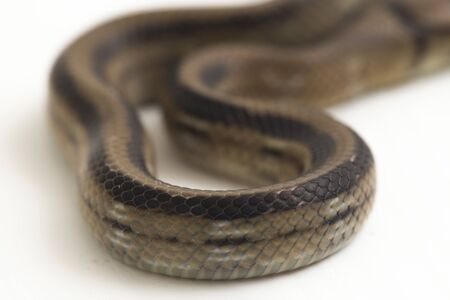 The radiated ratsnake, copperhead rat snake or copper-headed trinket snake (Coelognathus radiatus) is a nonvenomous species of colubrid snake isolated on white background