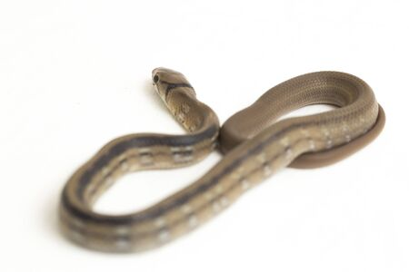 The radiated ratsnake, copperhead rat snake or copper-headed trinket snake (Coelognathus radiatus) is a nonvenomous species of colubrid snake isolated on white background Stock Photo
