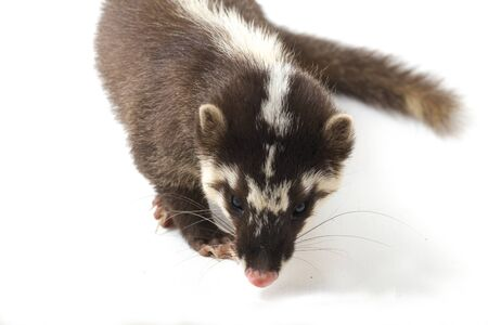 The Javan ferret-badger (Melogale orientalis) is a mustelid endemic to Java and Bali, Indonesia. isolated on white background