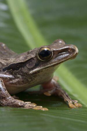 Common Southeast Asian Tree Frog - Polypedates leucomystax, indonesia Stockfoto